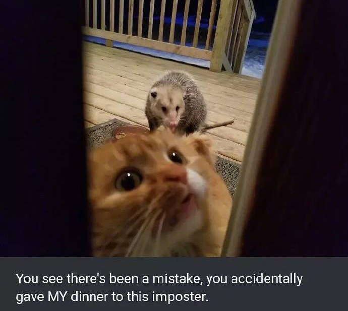 opossum eats cat food funny pictures