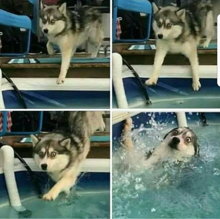 husky face as he falls into the pool