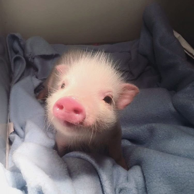 tiny happy smiling piglet