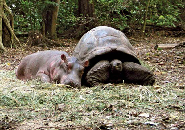 tortoise and baby hippo owen and mzee