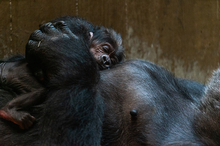 gorilla hudding and kissing newborn baby
