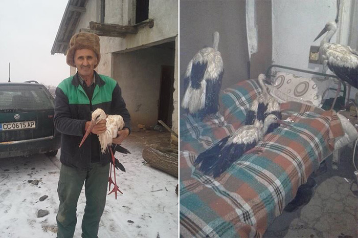 Bulgarians let storks inside home to save them from freezing