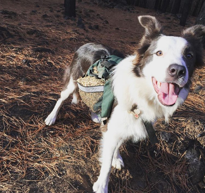 border collies special backpacks plant trees in chile