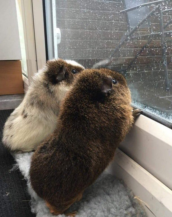 Guinea pigs watching the rain