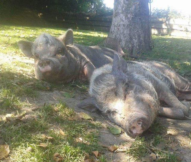 spot the pig funeral best friend