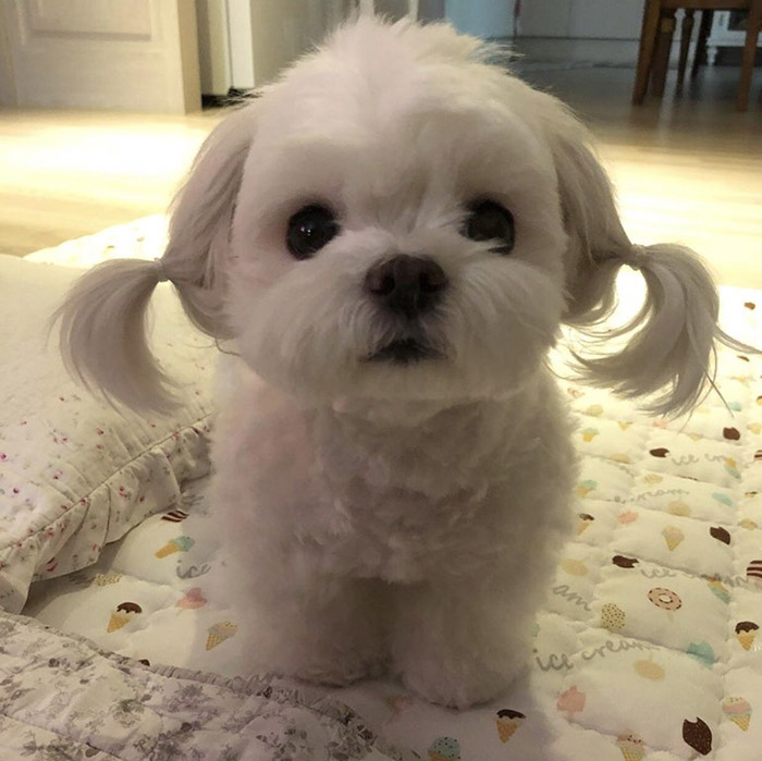 pigtails on dog