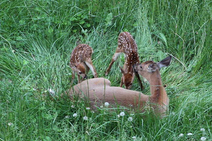 pregnant deer birth in backyard