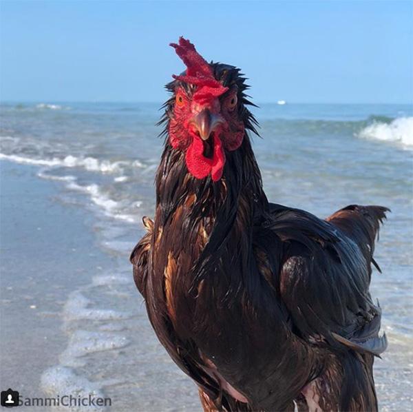 swimming chicken sammi