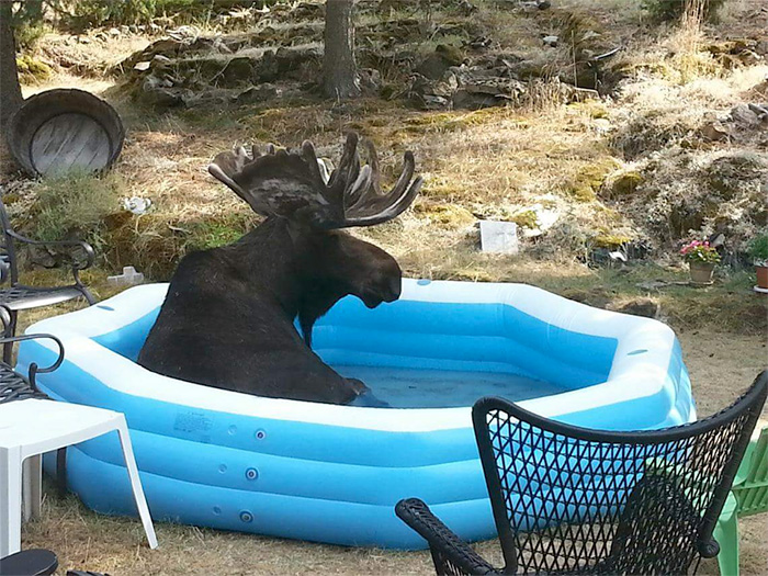 moose in kiddie pool