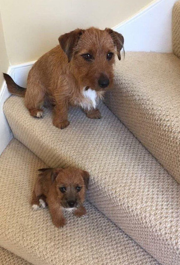 dog mini me on stairs