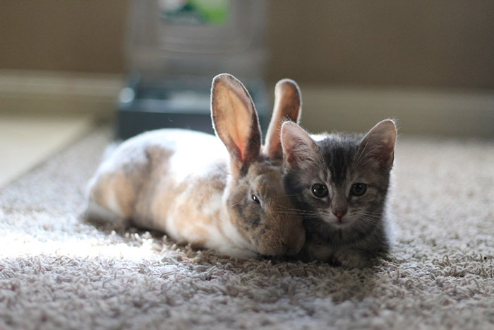 foster kitten and bunny