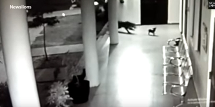 mother dog fights off leopard that attacks her puppy on security camera