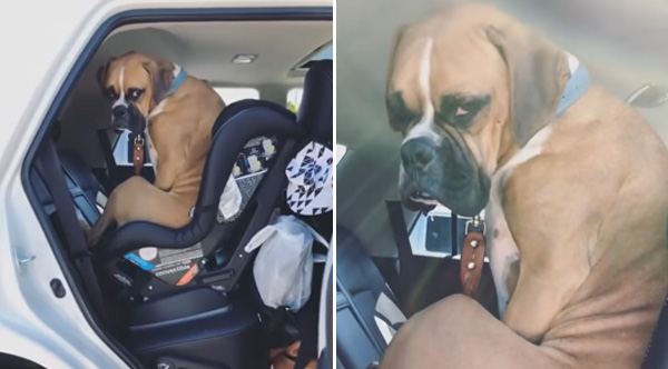 Boxer Is Not Happy He Has To Move Over For The Baby