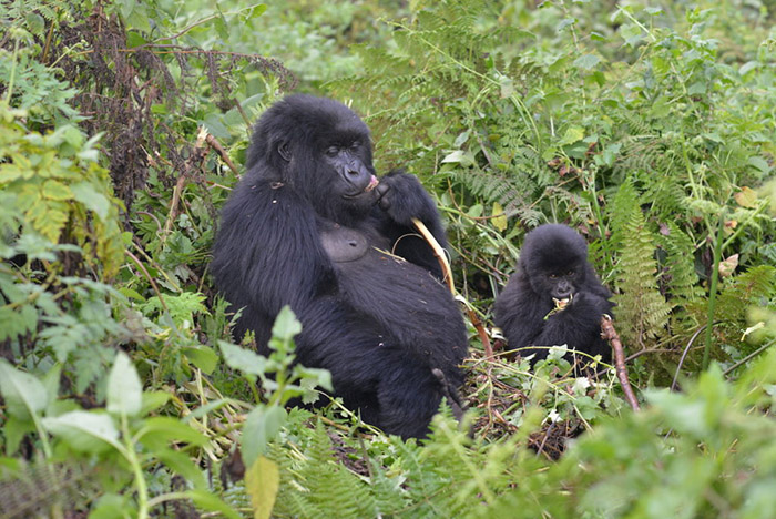 mountain gorillas on the rise