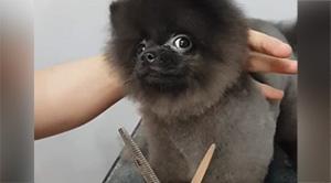 Dancing Dog Loves Getting His Hair Cut