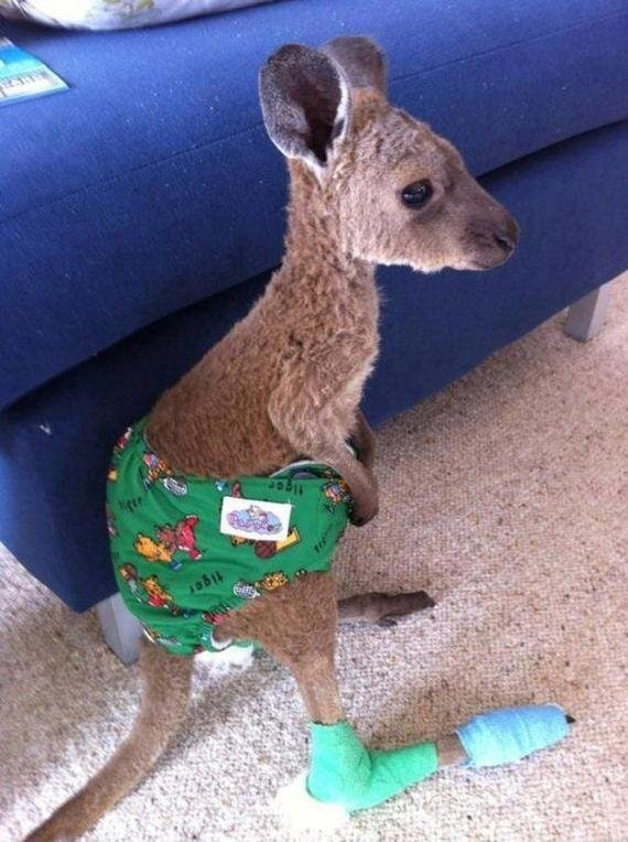 recovering baby kangaroo