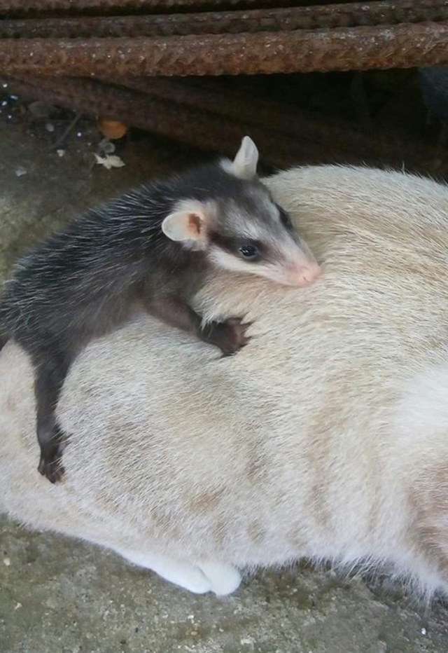 cat brings home baby opossum