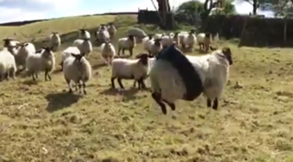 this sheep in a tire swing is going to make your day