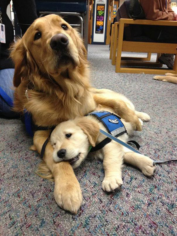 momma dog comforts puppy service dog