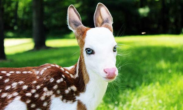 deer white face dragon