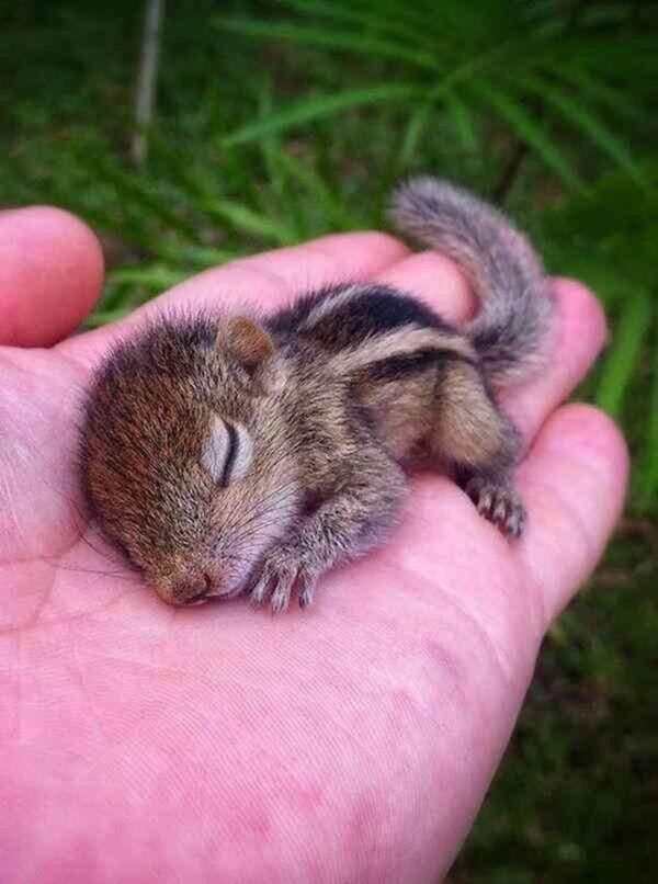 sleeping baby chipmunk