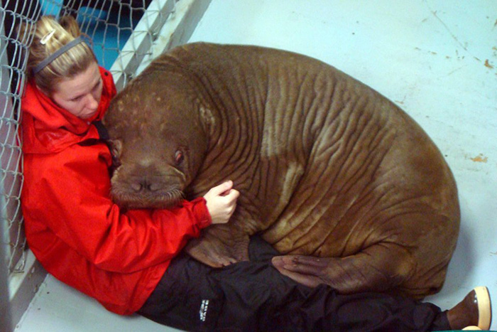 trainer hugged by baby walrus