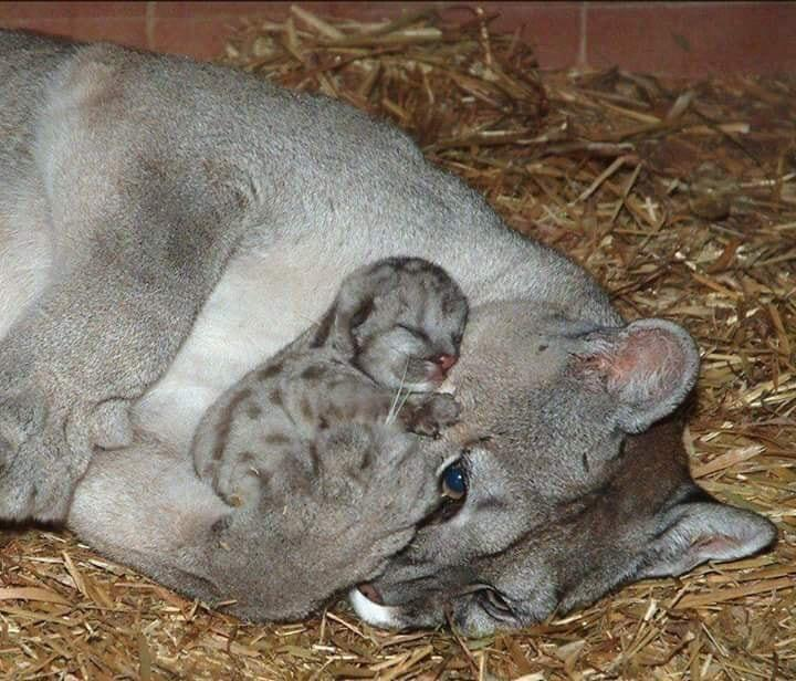 mom and baby mountain lion