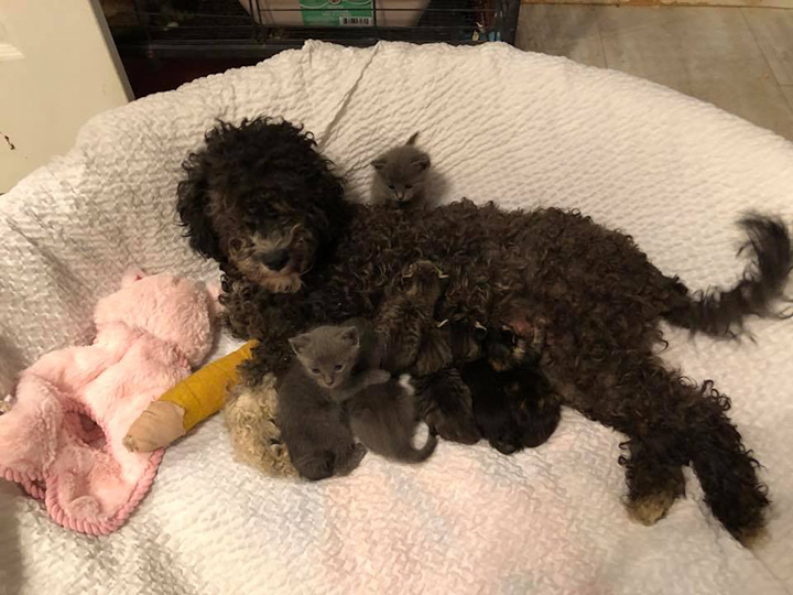 dog nurses kittens after accident