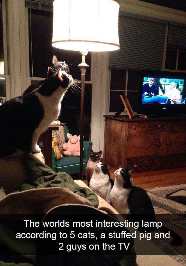 cats staring at lamp