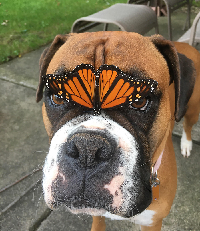 boxer makes a butterfly friend