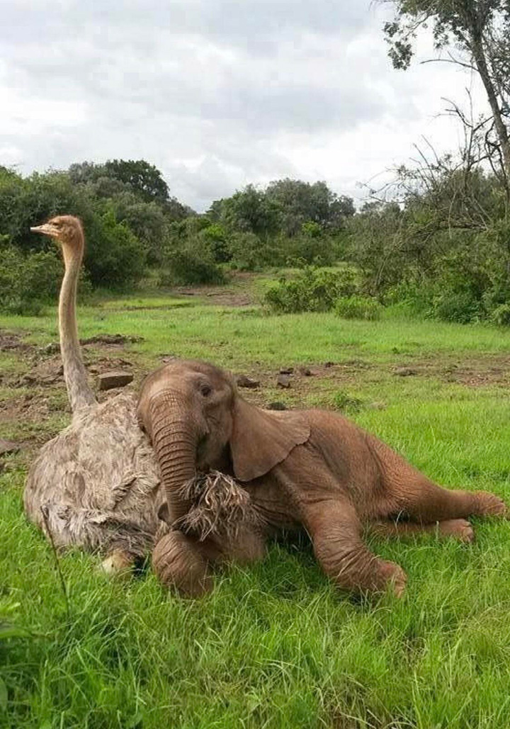 baby elephant with ostrich