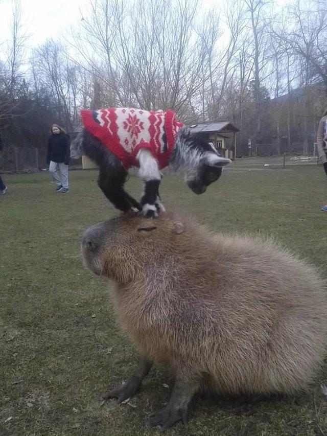 goat on capybara