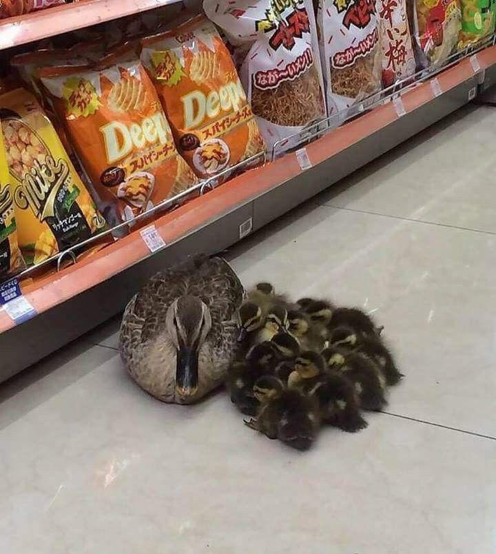 ducks in store