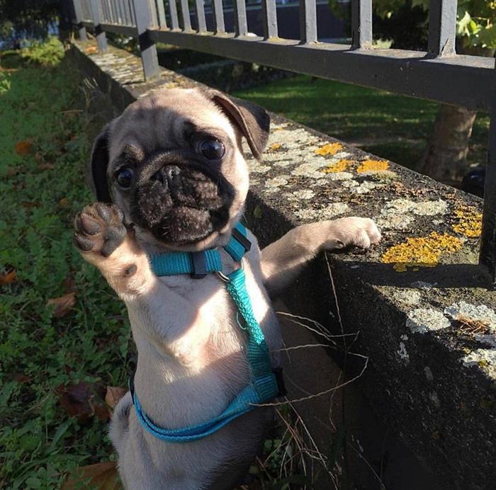 pug says hi
