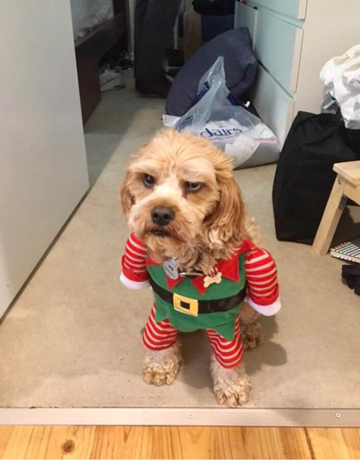 dog in elf outfit