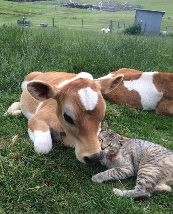 calf and kitten cuddles