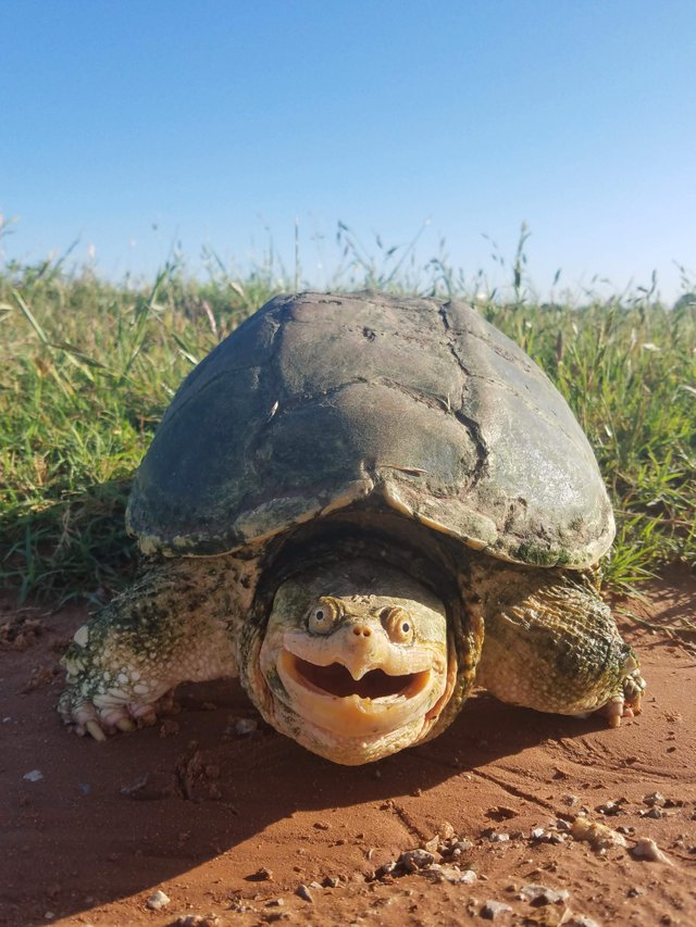 snapping turtle funny pic