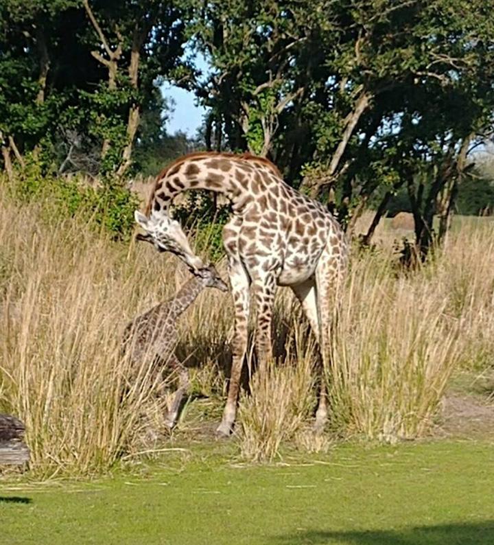 giraffe born during Disney safari