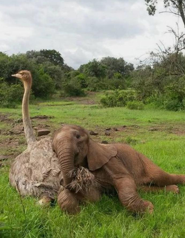 rescue elephant sleeping on ostrich