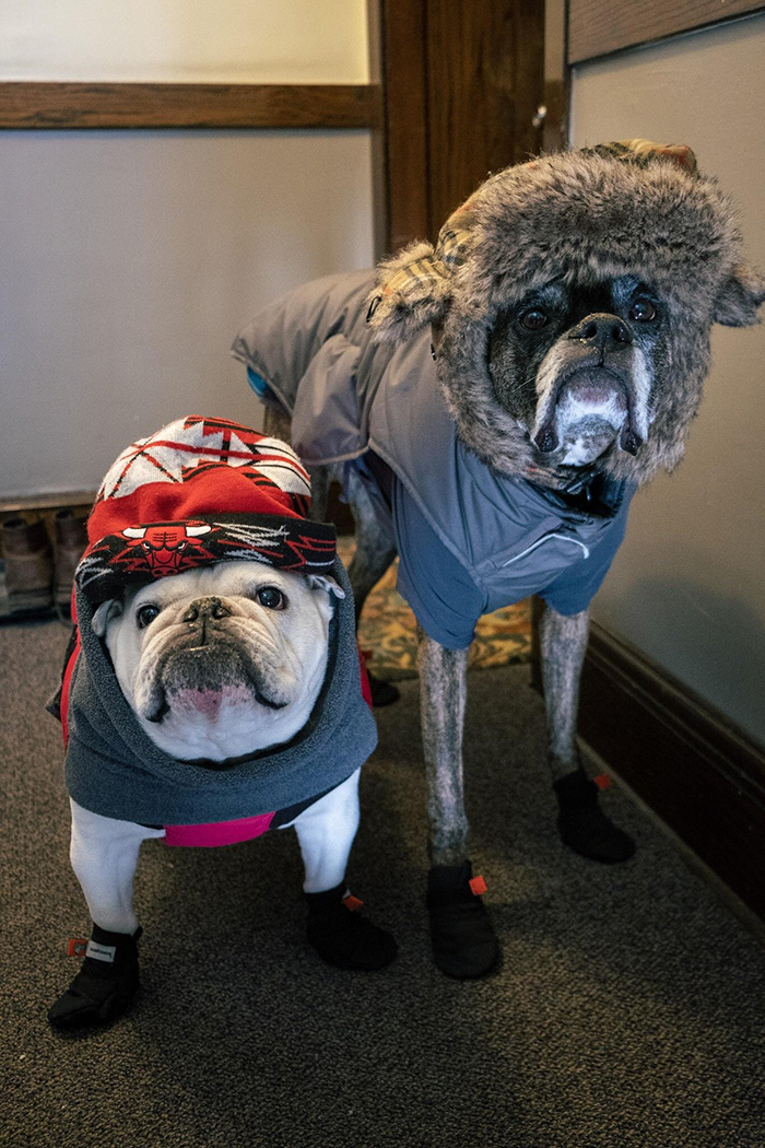 dogs brave the cold in chicago