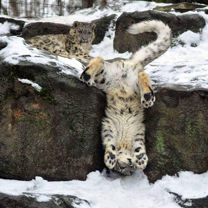 majestic snow leopard funny
