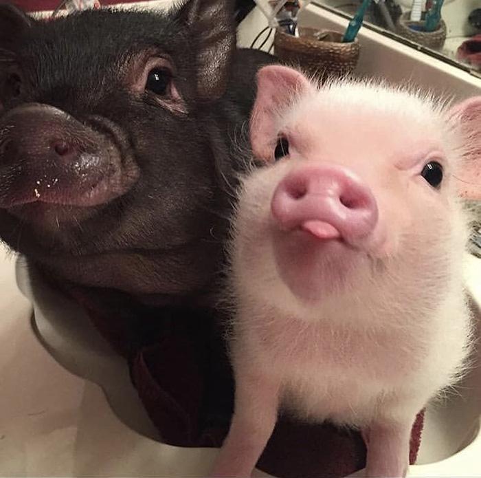 pig snoots