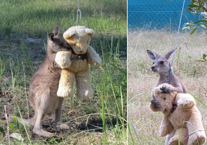 baby kangaroo and teddy bear