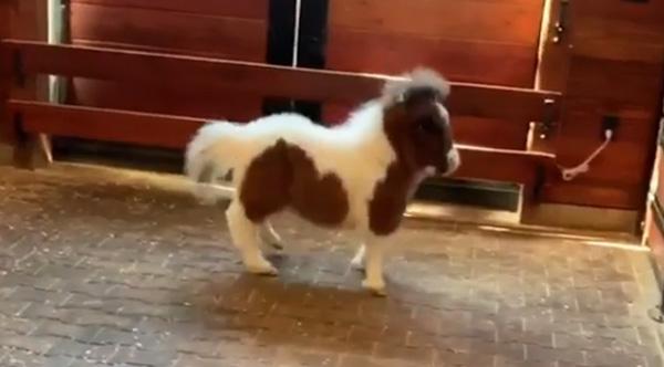 mini horse struts  prances  and moonwalks in adorable video