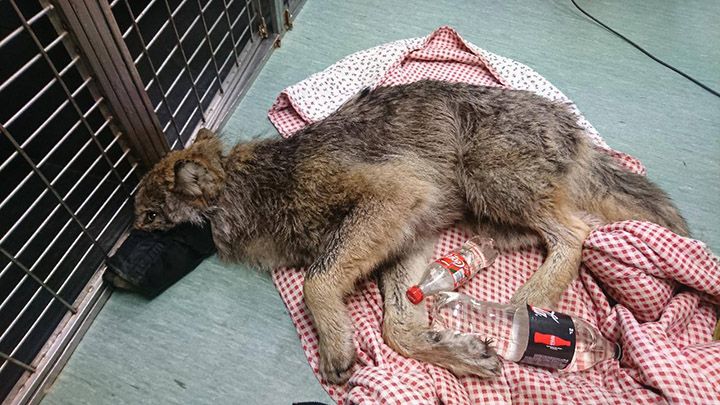 construction workers rescue wolf by accident