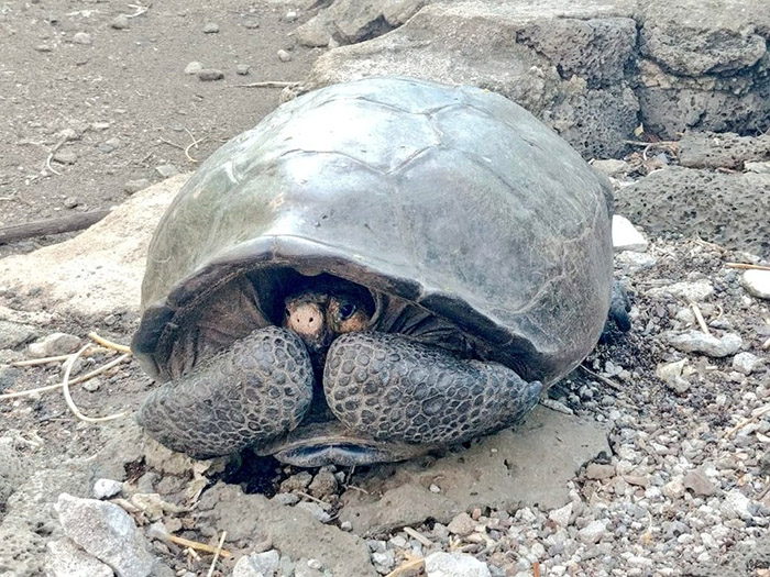 extinct galapagos tortoise found alive 100 years