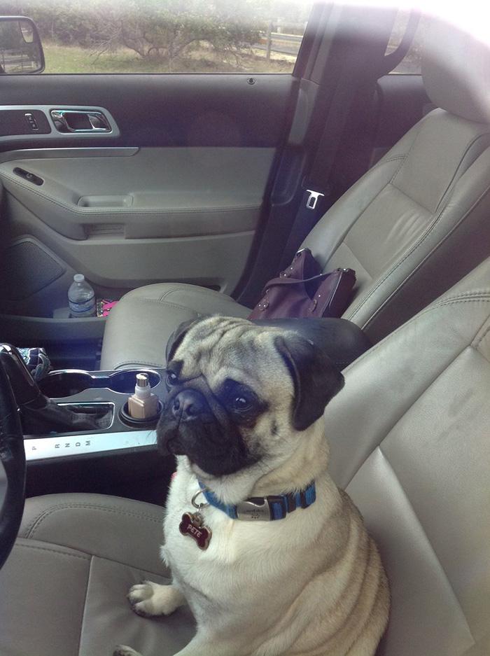 pug locks mom out of car