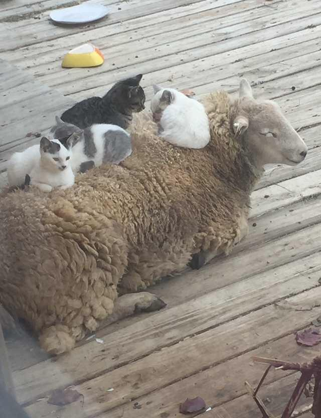 sheep bed