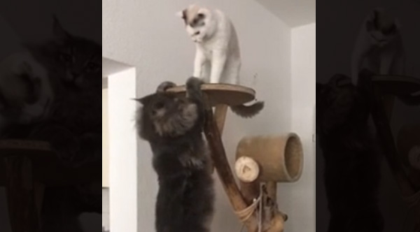 Most Fun Cars To Drive >> Cats Playing On Cat Tree Reenact 'Lion King' Scene