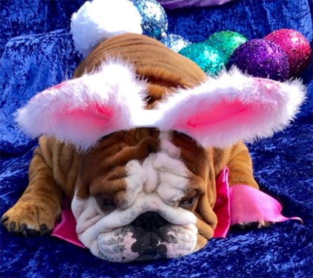 english bulldog henri wins easter bunny cadbury